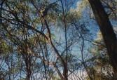 Koalas in the wild, Magnetic Island